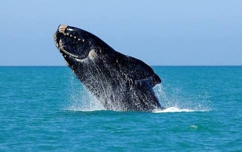 Southern Right Whales in South Africa